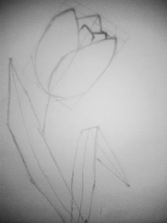 очертание тюльпана