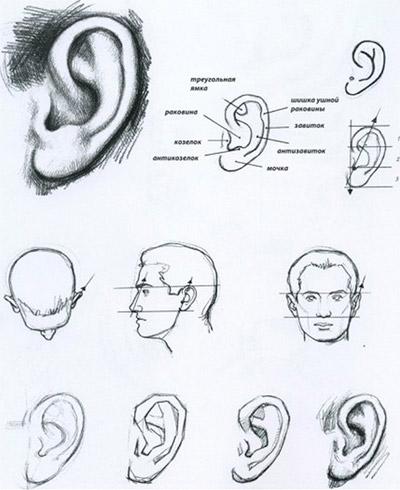 рисовать уши