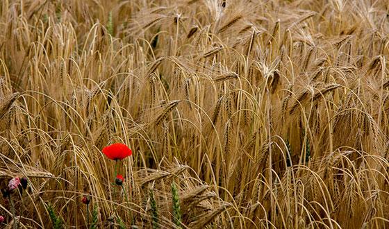 мак среди пшеницы