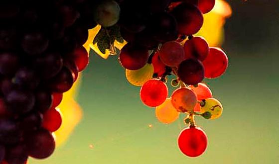 виноград в контровом свете
