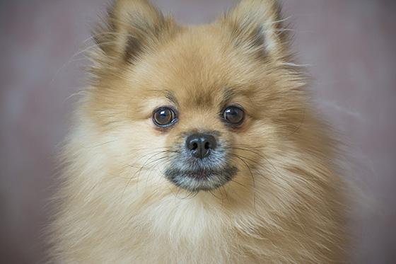 собака карликовый шпиц