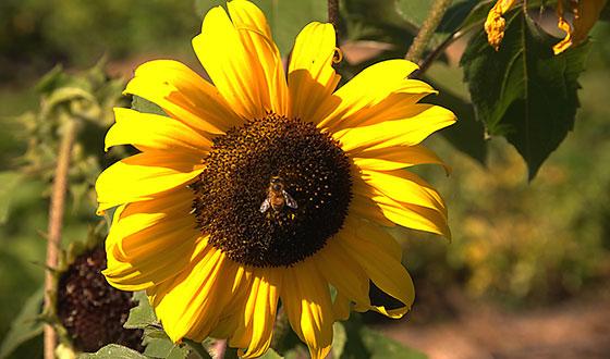 подсолнух с пчелой